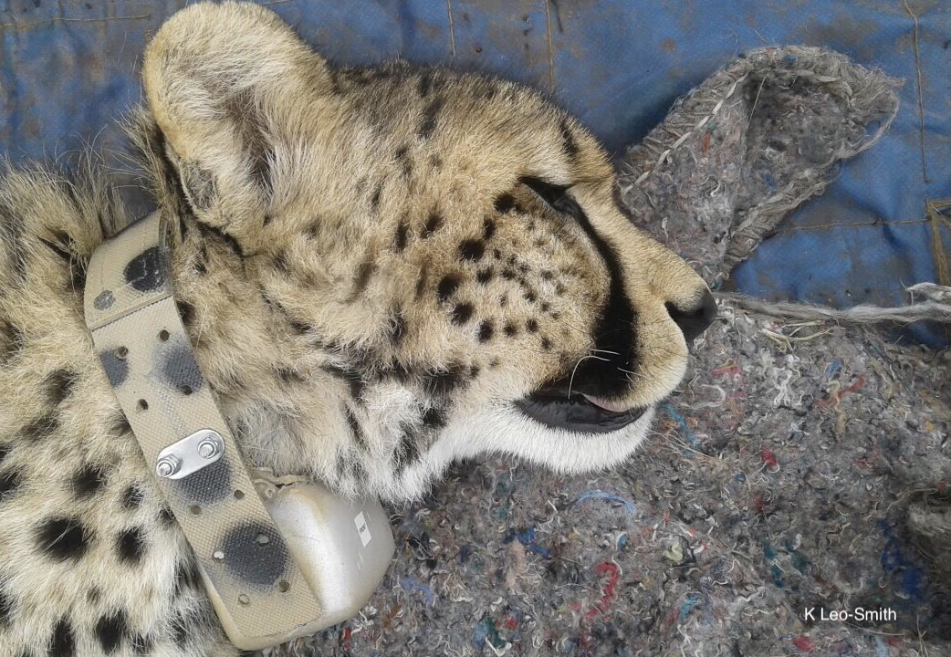 Cheetah fitted with a GPS collar (Cellular with VHF)